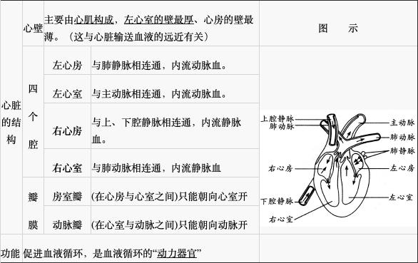 2,心脏的结构和功能